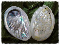 Seeohren, Meerohren - Abalone-Muschel Natur