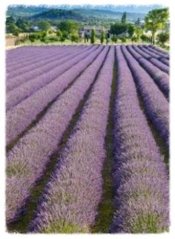 Lavendelöl das Original aus Frankreich