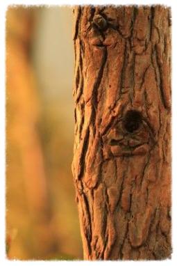 Sandelholzbaum, Sandelholzöl, Sandelholz