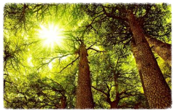 Zedernholzöl